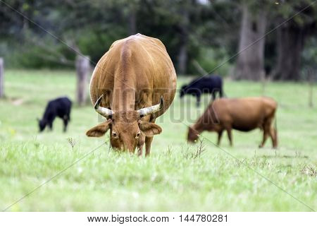 Front view of a red brood cow grazing with other cows in the background