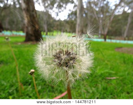Dandelion seed flying away from dandelion stem