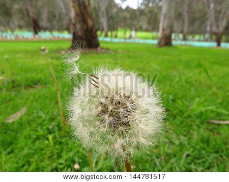 Dandelion seeds floating away from dandelion stem
