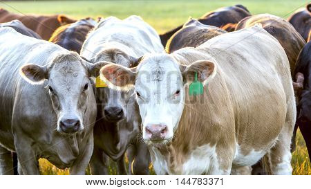 Closeup of a group of crossbred heifers looking at the camera.