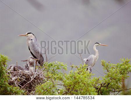 Herons on a tree