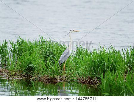 Herons in the wetland