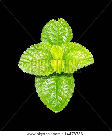 fresh mint isolated on a black background