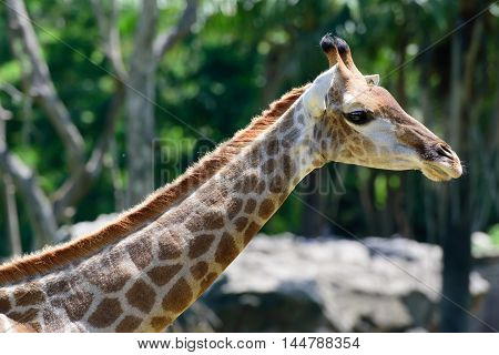 Close Up Giraffe On Green Tree Background