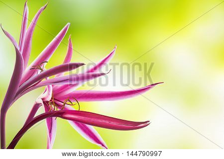 Pink Crinum Lily in the park, Cape Lily, Poison Bulb, Spider Lily