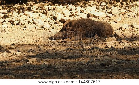 Wild boar sleeping in the warm summer sun
