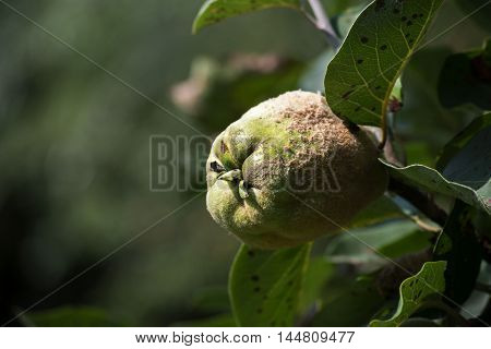 Portugal quince also called pear quince (Cydonia oblonga) in a tree in the organic orchard to harvest time copy space