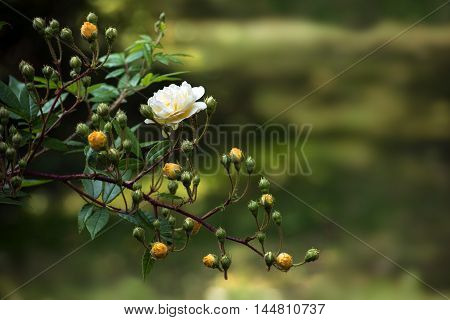 twig with delicate roses and buds in bright yellow apricot (Hybrid Musk Ghislaine de Féligonde) in front of a blurred green background with copy space