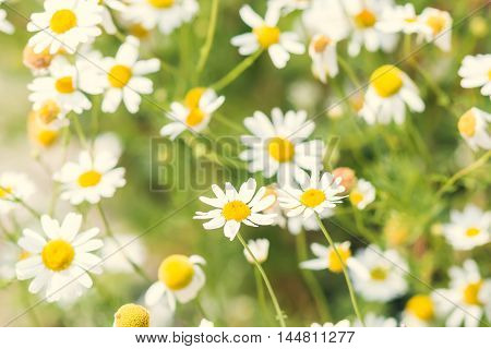 A bunch of white yellow wild camomiles