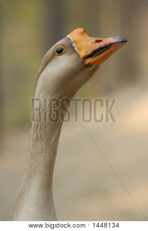 Goose Looking At You.