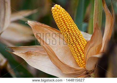 Ripe yellow ear of sweet corn on the field. Collect corn crop.