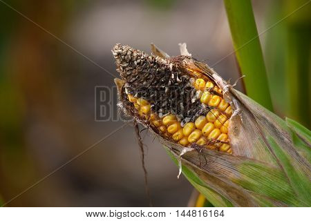 Immature diseased and moldy corn cob on the field close-up. Collect corn crop.