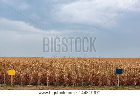 Summer day highlights the agricultural field which is growing in neat rows high ripe yellow sweet corn. Background. The family of cereals and grain crops. Before harvest.
