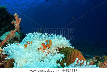 Clownfish Anemonefish on white anemone in coral reef