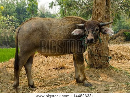 Buffalo calf in cattle farm in Thailand.