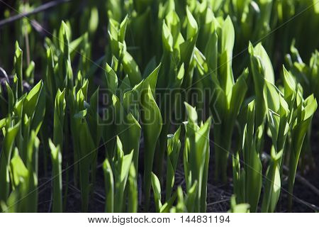 Green Shoots Of Lily Of The Valley