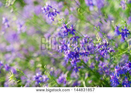 idyllic cornflower flowers growing in the meadow
