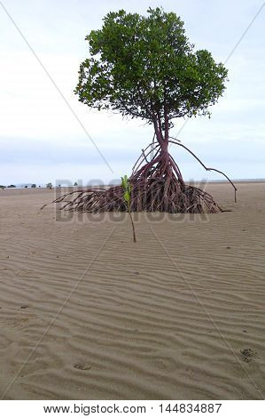 Tropical mangrove swamp tree beach growing in sand