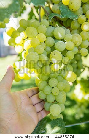 A man picks up a bunch of grapes. Grape bush. Man tearing a bunch of grapes.