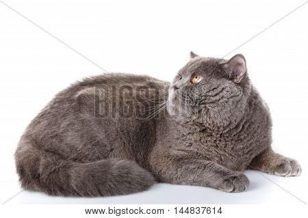 Nice, cute big gray cat british straight lying on a white background, not look at the camera