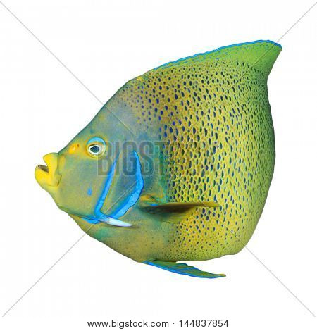 Coral reef fish isolated on white background: Koran Angelfish