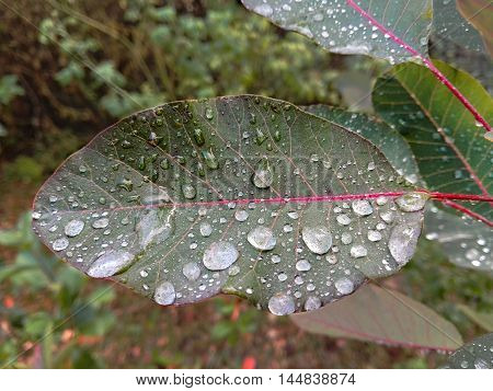 Photo of a leaf with drops of rainwater.