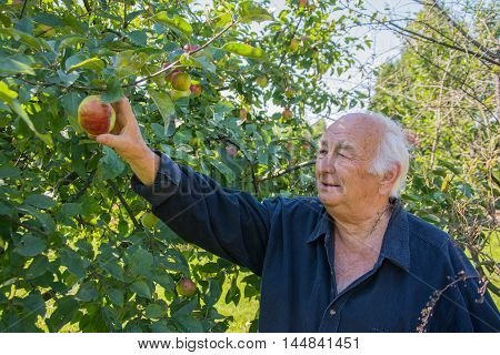grandpa in garden. senior farmer harvesting apples