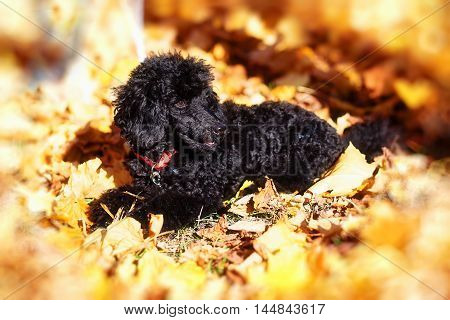 Black poodle in autumn park beautiful autumn leaves