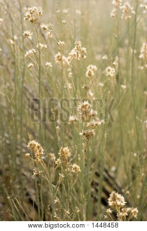 Sagebrush Blossoms
