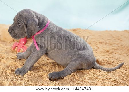 Great Dane purebred puppy sitting down with its tail in the sand