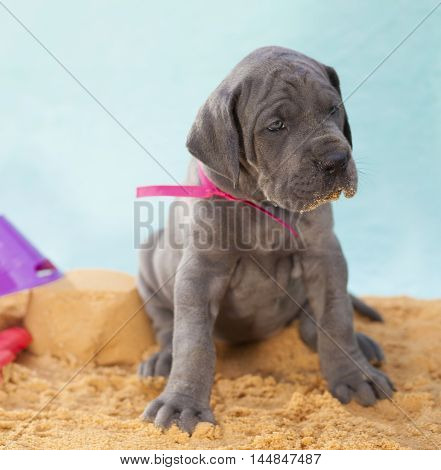 Purebred Great Dane puppy on the sand wondering about something