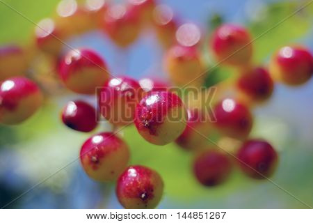 The juicy, ripening summer berries of a guelder-rose