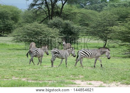 Zebra Botswana Africa Savannah Wild Animal Picture