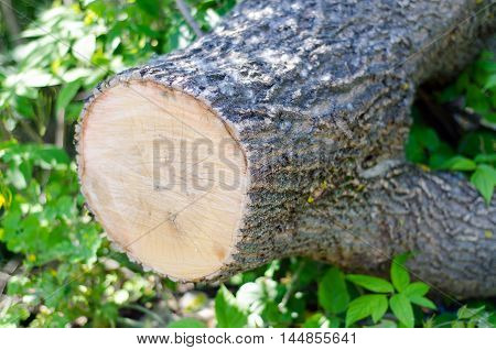 sawn tree trunk lying on the ground