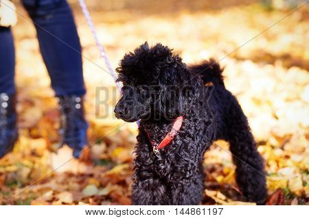 Black poodle in autumn park and woman legs