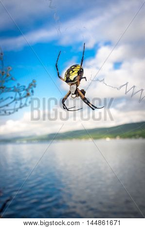 Close up yellow garden spider on web in its natural habitat