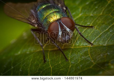 Extreme close up macro common green bottle fly insect background