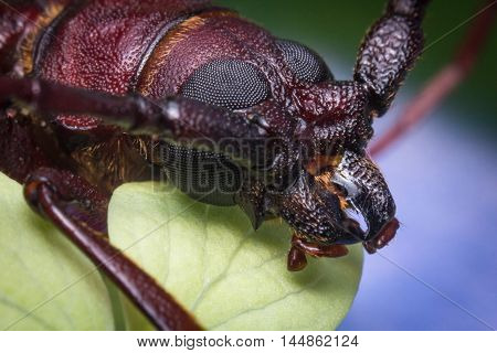 Close up macro brown long horned beetle on green leaf