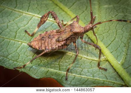 Close up macro helmeted squash bug on green leaf