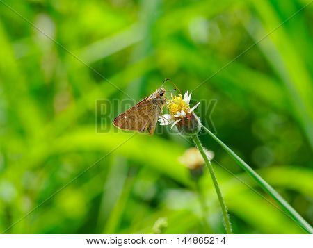 The butterfly is sucking nectar from flower.