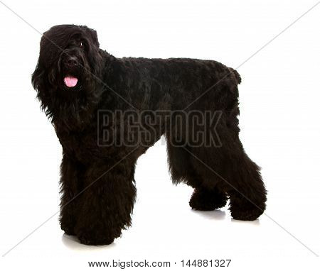 Large black shaggy dog tired standing on white background