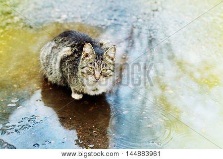 Stray cute kitten or cat sitting in a puddle in the rain.