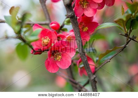 Beautiful red pink and purple flowers of crab apple tree, with the botanical name of Malus purpurea Eleyi. Shallow depth of field.