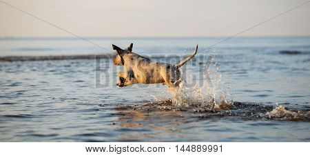 dog running into the water at sunset