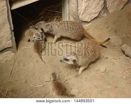 The family of meerkats on the sand