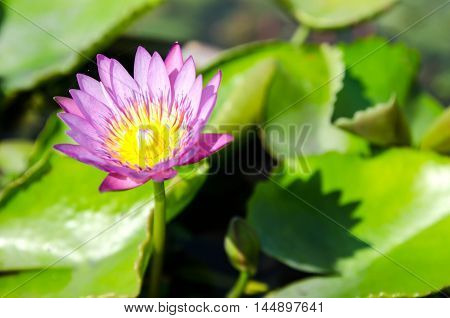 beautiful purple waterlily or lotus flower in pond