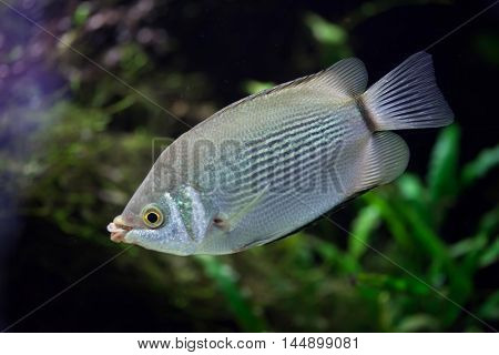 Kissing gourami (Helostoma temminckii), also known as the kissing fish. Wildlife animal.
