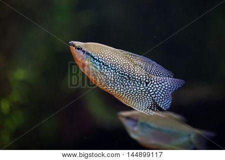 Pearl gourami (Trichopodus leerii), also known as the mosaic gourami. Wildlife animal.