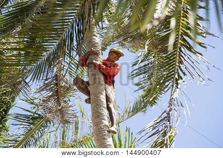 BUKANA, PHILIPPINES - FEB. 2: Male Filipino collector of coconuts on a coconut palm tree FEB. 2, 2016 in Bucana Philippines.