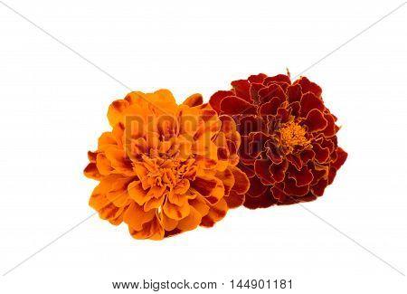 marigolds orange flower isolated on white background